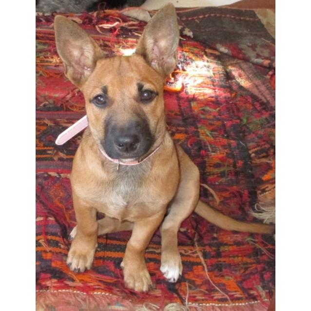 Doris Small Female Dachshund X Kelpie X Staffy Mix Dog