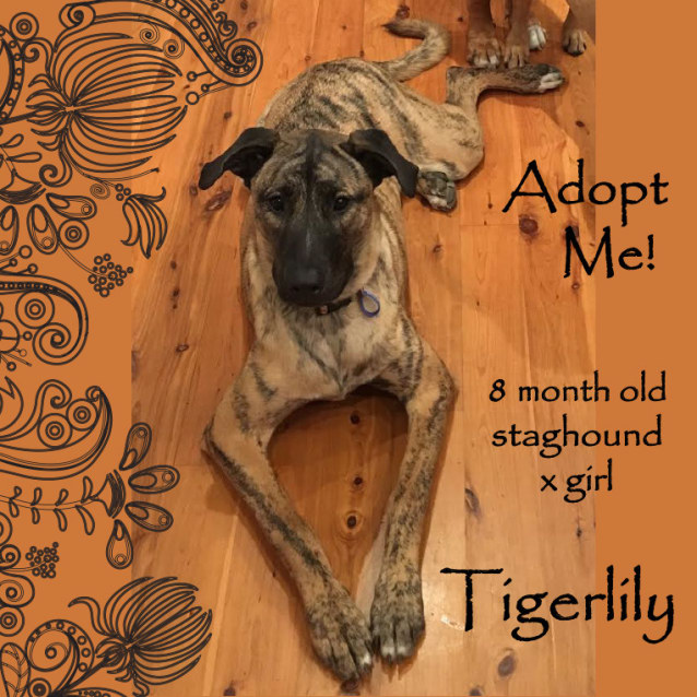 Photo of Tigerlily ~ Staghound X Girl (On Trial 19/06/16)