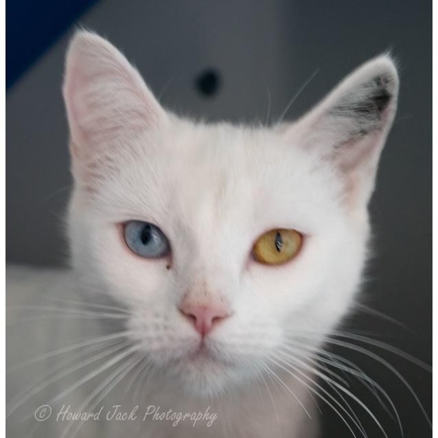 Angie Female Domestic Short Hair X Angora Cat Mix Cat In Qld