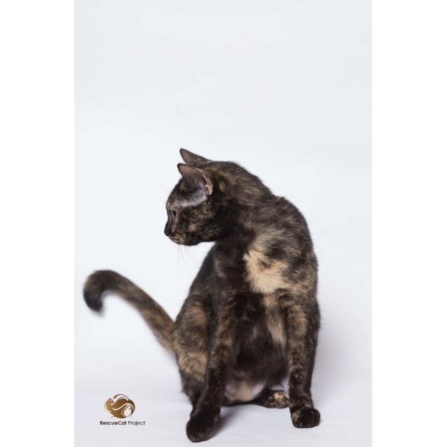 "Photo of ""Mika"" $49   Purrfect Match"