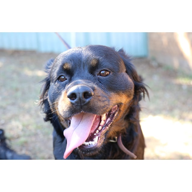Laile Large Female Golden Retriever X Rottweiler Mix Dog In Wa