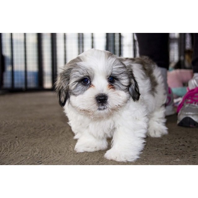 Buster Maltese X Shih Tzu Puppy Trial 13716 Small Male