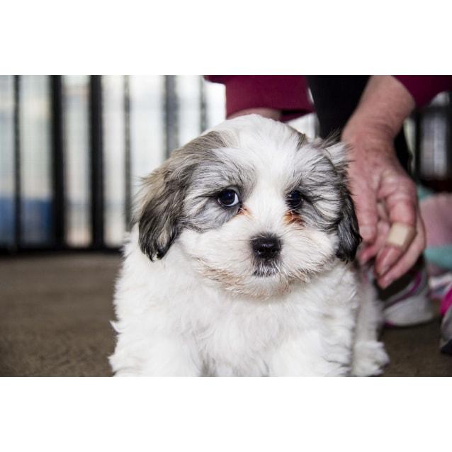 Buster Maltese X Shih Tzu Puppy Trial 13716 Small Male