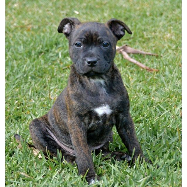 Photo of Gypsy ~ Cute Female Staffy Pup (On Trial 19/7/16)