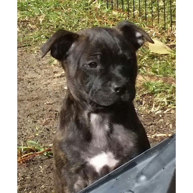 Photo of Gypsy ~ Cute Female Staffy Pup (On Trial 19/7/16)