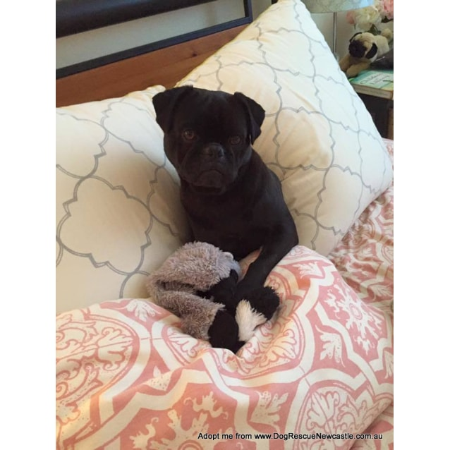 Photo of Pugalicious ~ Pug X ~ On Trial 10/8/16