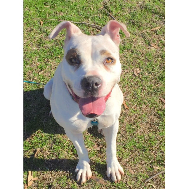 Photo of Astra The American Bulldog