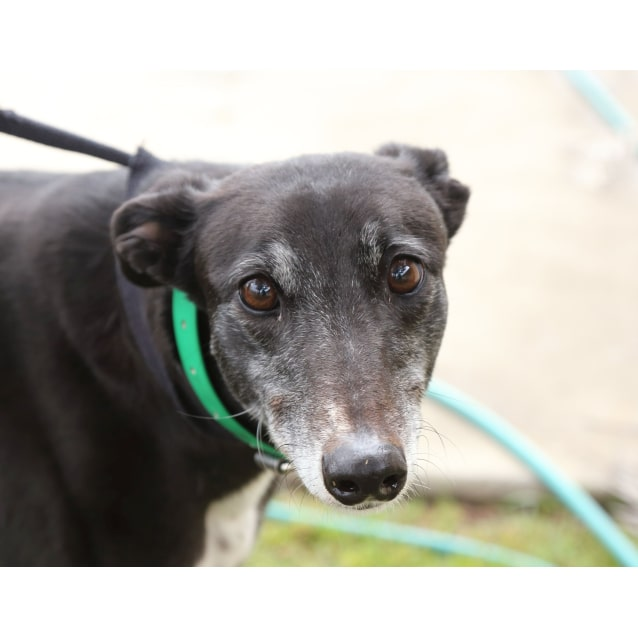 Rainbow Dash Large Female Greyhound Dog In Nsw Petrescue