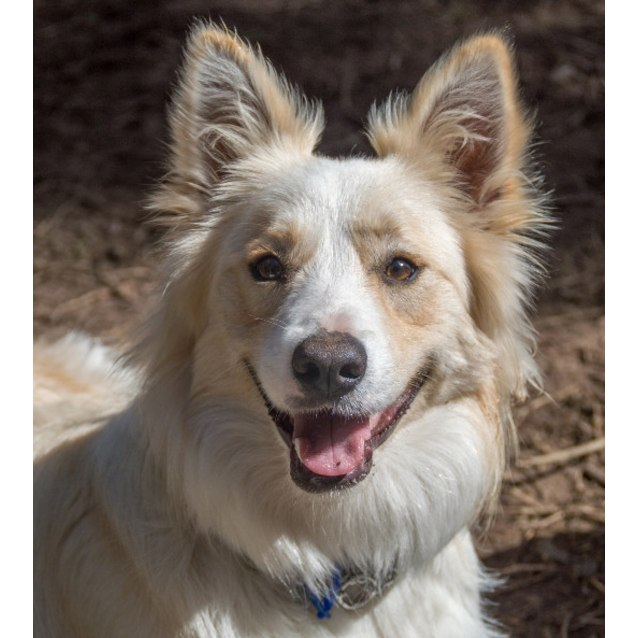 Photo of Oscar ~ 1yo Border Collie (On Trial 16/11/16)