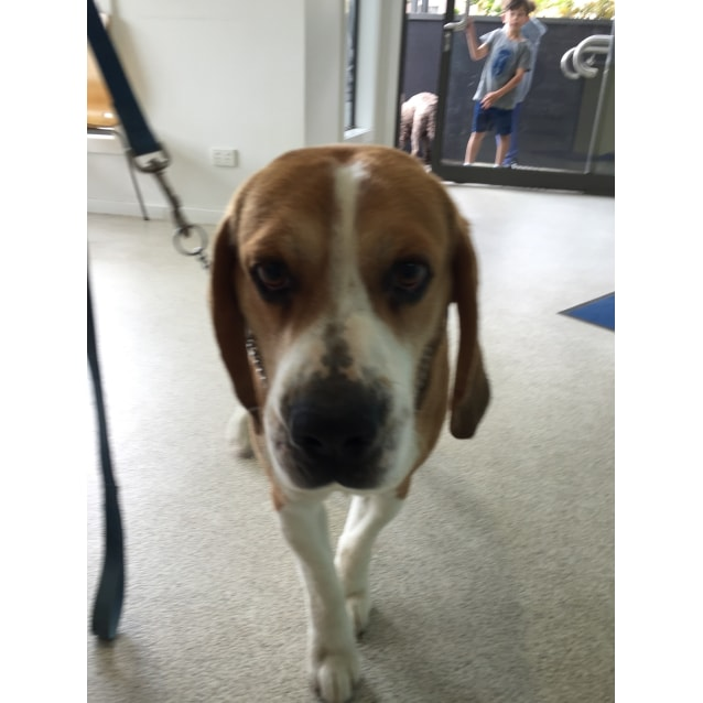 Beagle Dog Rescue Victoria