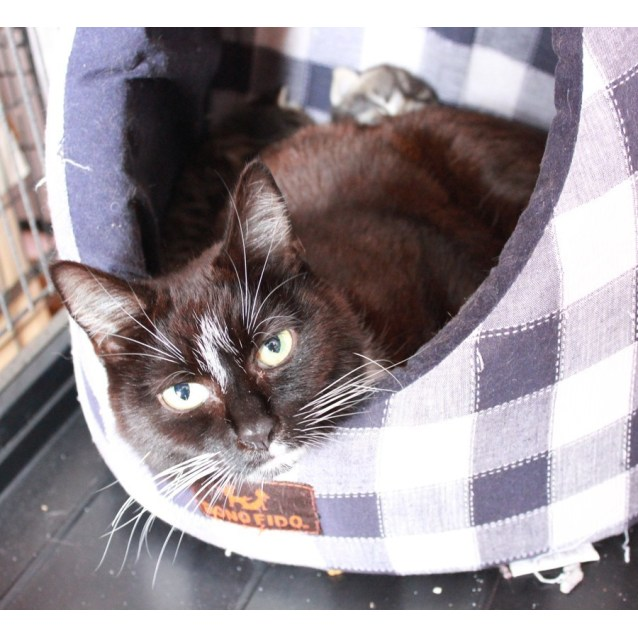 Photo of Gemma **2nd Chance Cat Rescue**