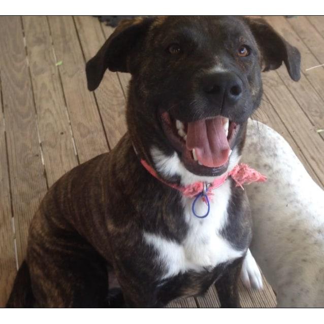 Photo of Maggie  Mastiff X German Shepherd (On Trial 5/2/17