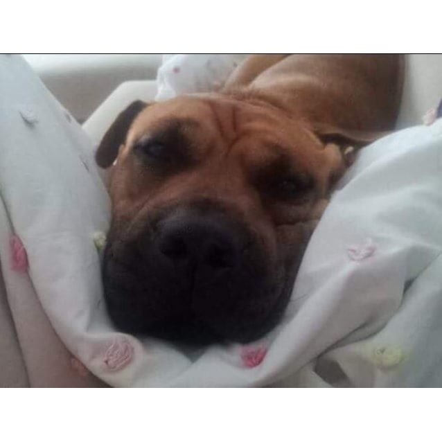 Photo of Lola ~ Shar Pei X Staffy