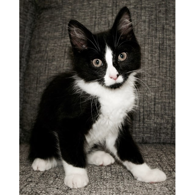 Photo of Dixie The Fluffy Tuxedo Kitty
