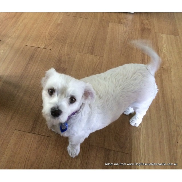Photo of Sasha ~ Maltese X Terrier, (Trial 16/2/17)