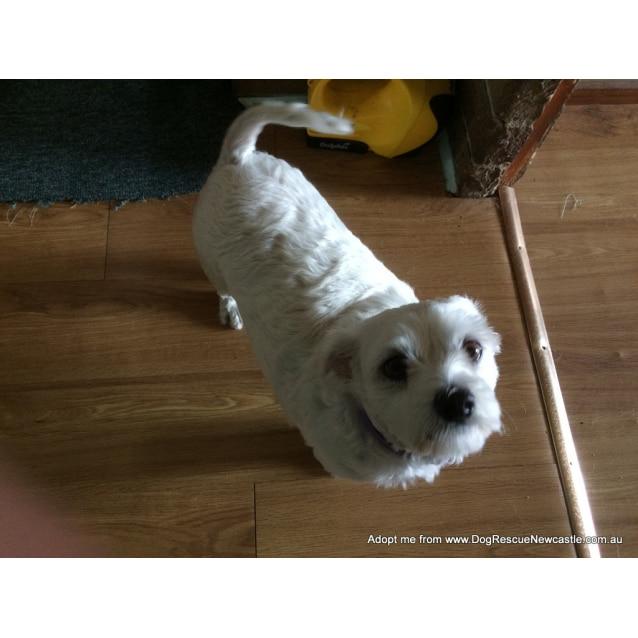 Photo of Sasha ~ Maltese X Terrier, (Trial 16/2/17)
