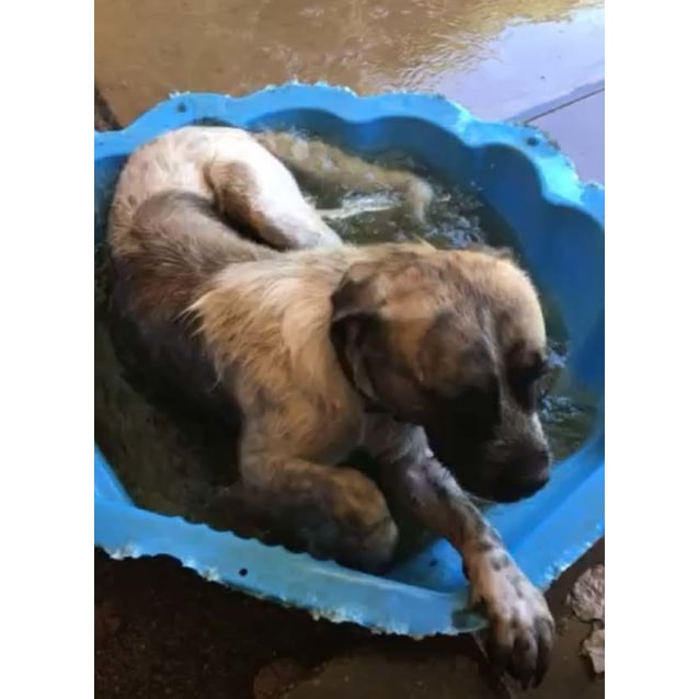 Photo of Apollo ~ 2yo Mastiff X Wolfhound On Trial 31/7/17