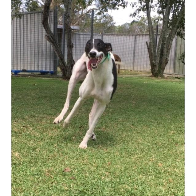 Photo of Twisty (Greenhound In Training)