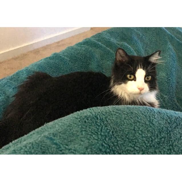 Photo of Adilya The Stunning Long Haired Smoochy Cat!