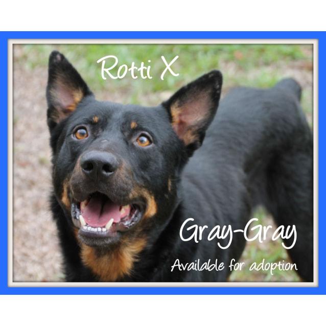 Photo of Gray Gray ~ Rotti X Kelpie (Foster Fail 27/7/2017)