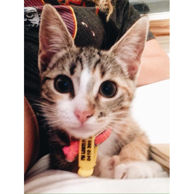 Photo of Twix Kitten