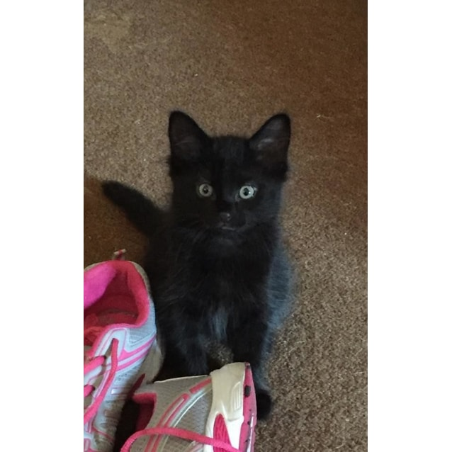 Photo of Ashes 🖤 Jet Black Fluffy Kitten