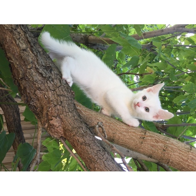 Photo of Comet 💫 Child Loving White Teen Kitten