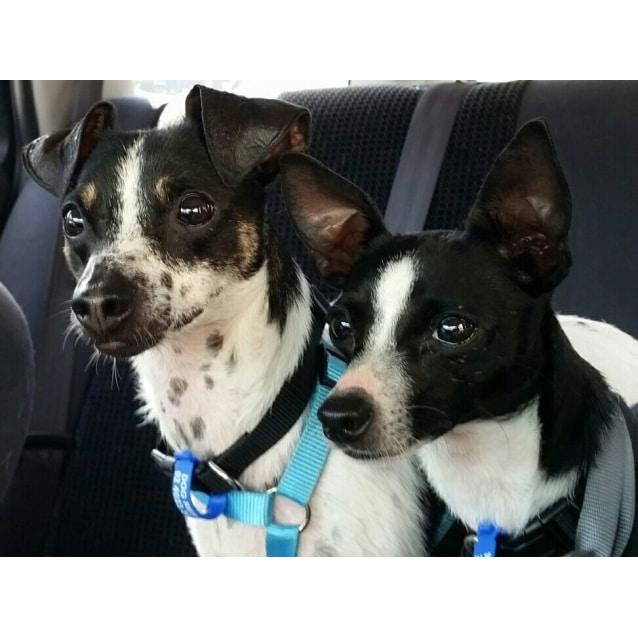Photo of Max & Millie ~ Fox Terrier Pair (On Trial 5/04/17)