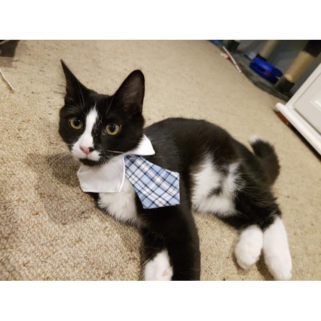 Photo of Dixie The Fluffy Tuxedo Kitty
