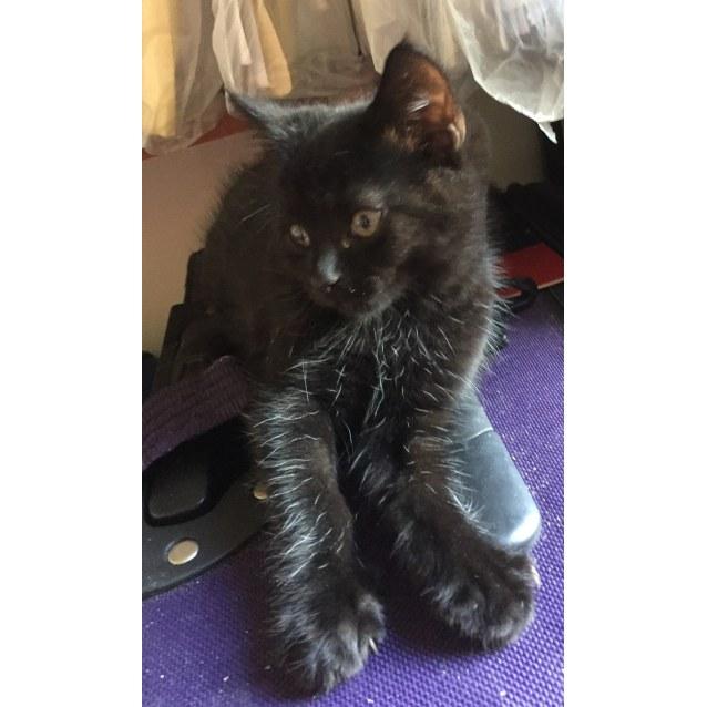 Photo of Plum 🍒 Gorgeous Fuzzy Black Kitten