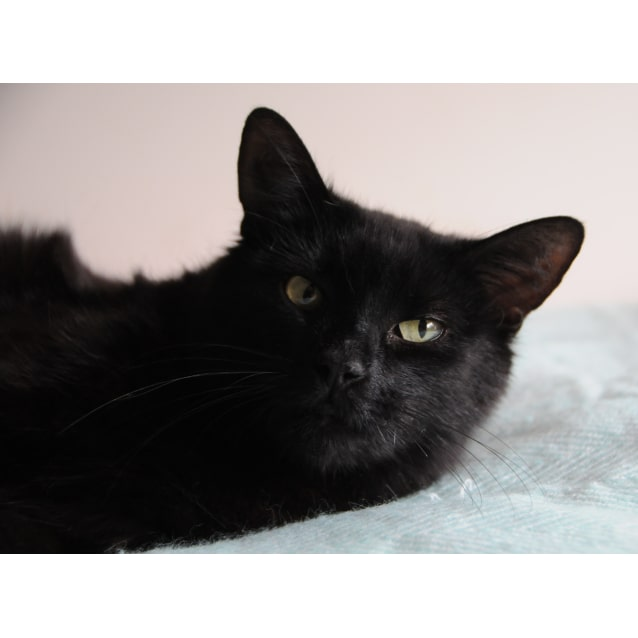 Photo of Miss Cleo 💥  Affectionate Black Cat