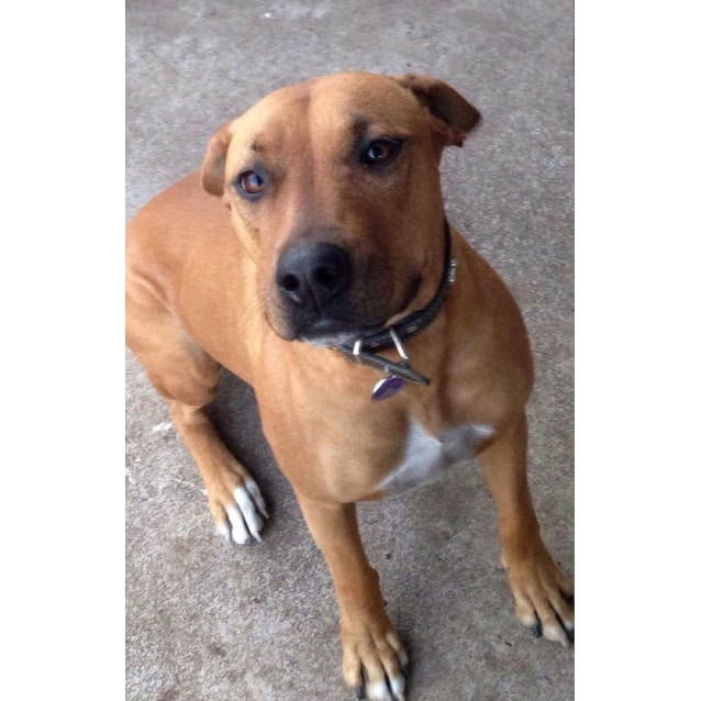 Lacey our beautiful lady - Medium Female Boxer x Rhodesian ...