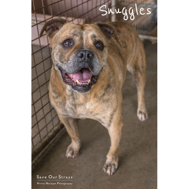 Photo of Snuggles 6 Yo Aussie Bulldog