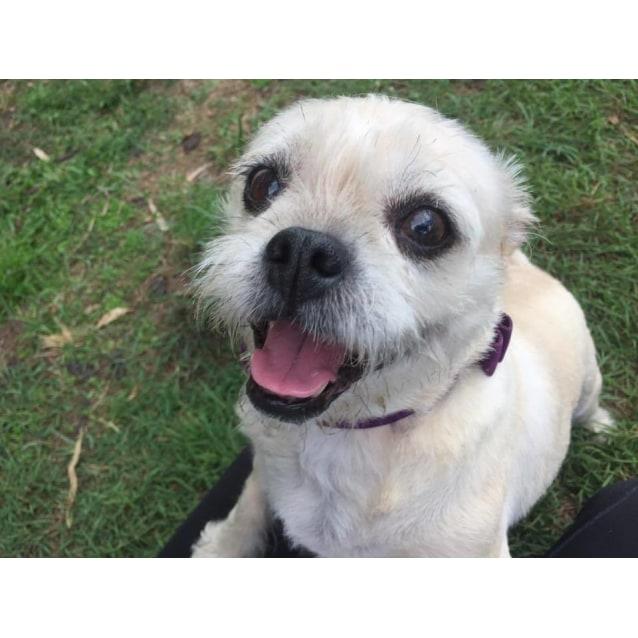Miley Small Female Pug X Shih Tzu Mix Dog In Qld Petrescue