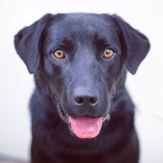 Dog Adoption Melbourne Vic