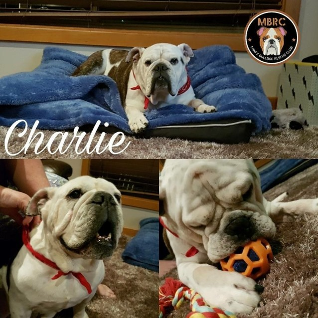 Photo of Charlie Brown The Bulldog