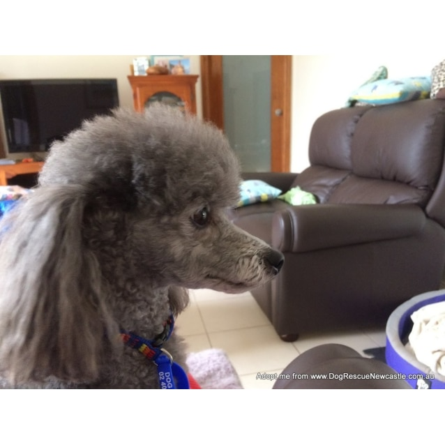 Photo of Vinnie ~ Purebred Mini Poodle (On Trial 8/4/17)
