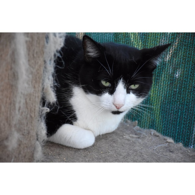 Photo of Ciara ** 2nd Chance Cat Rescue**