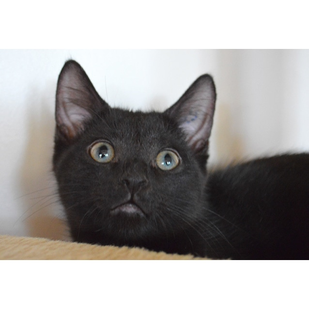 Photo of Ebony ☯️  The Playful Snuggler Kitten