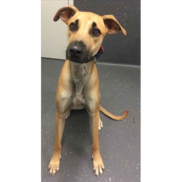 Image result for shepherd greyhound mix