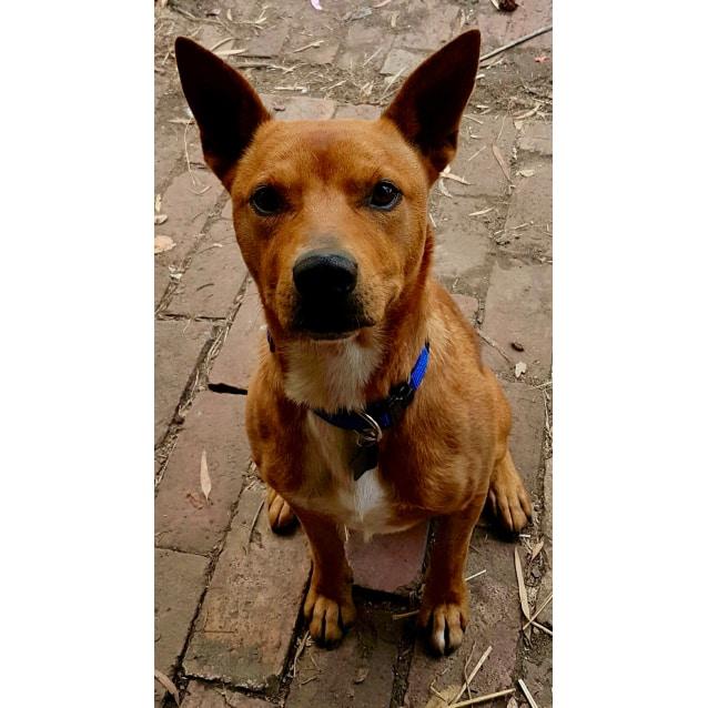 Ted Medium Male Kelpie X Red Heeler Mix Dog In Vic