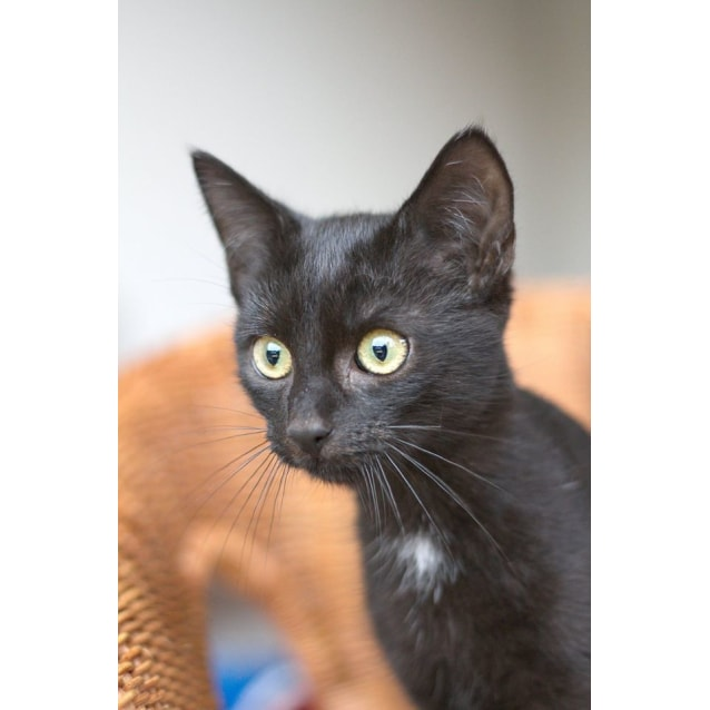 Photo of Vadar *2nd Chance Cat Rescue*