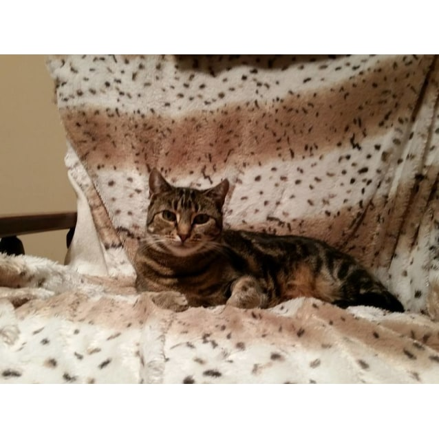 Photo of Tomasina ** 2nd Chance Cat Rescue**