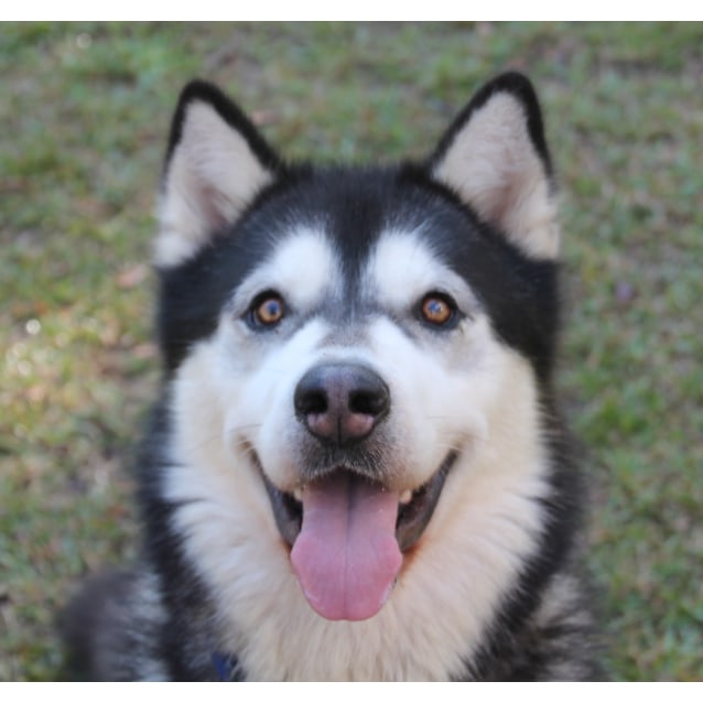 Photo of Titan ~ Malamute