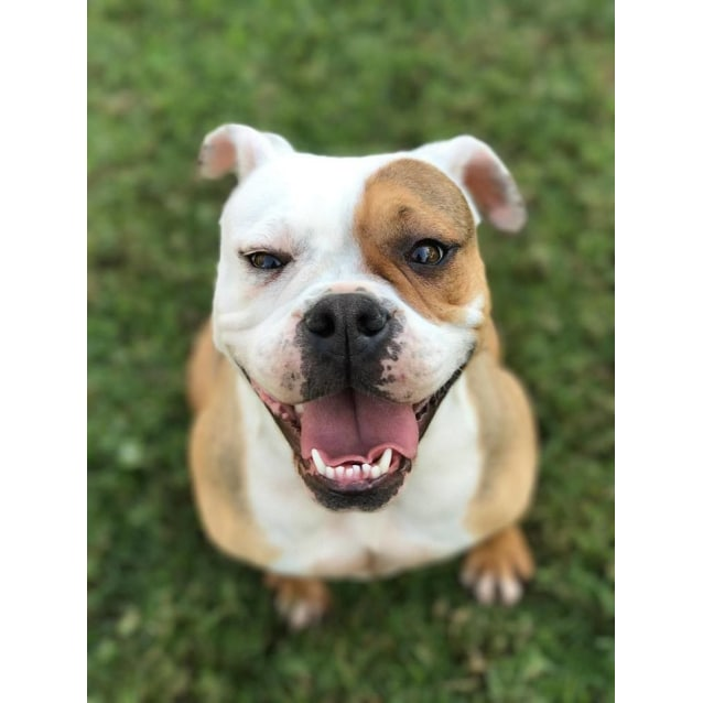Photo of Lacey The Bulldog 2 Yo