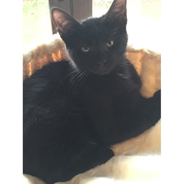 Photo of Poppy 🌸 Gentle Lassie Black Kitten