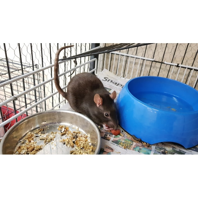 Photo of Rat Rat Ratties!!!