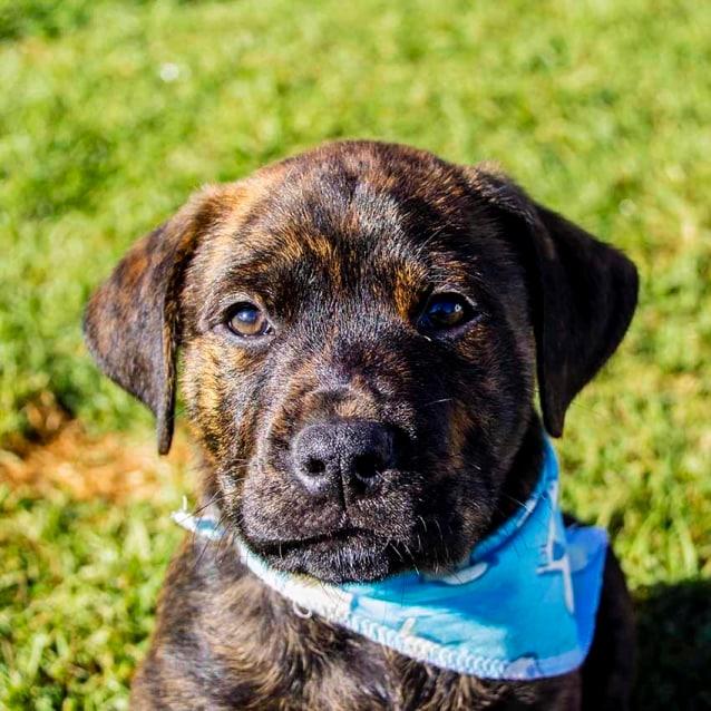 Arlo Rotti X Staffy X Lab Pup On Trial 24 6 17