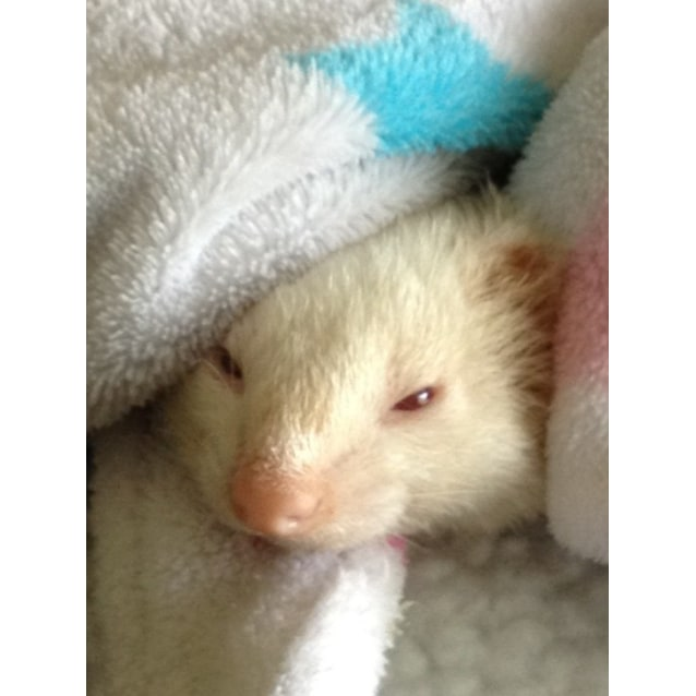 Photo of Desexed Male And Female Ferrets For Adoption