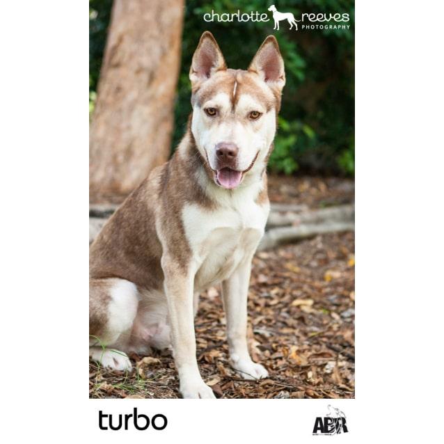 Turbo Medium Male Siberian Husky X Staffordshire Bull Terrier Mix